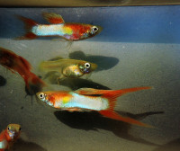 Guppy double red swordtail a Živorodka Endlerova