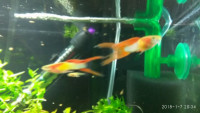 Živorodka duhová, GUPPY  DOUBLE RED SWORDTAIL