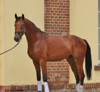 Beuatiful young stallion for dressage and jumping ideal for amateur rider