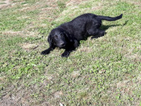 Pejsek flat coated retriever