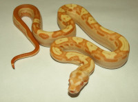 Boa constrictor - Sunglow Arabesque, Keltic, Jungle, Motley