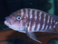 Petrochromis flame tail f1