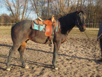 Paint Horse valach s PP, 5 let