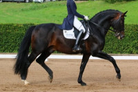 Approved breeding stallion and school master for young rider