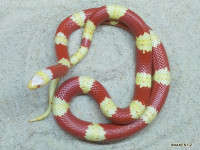 1,0 albino Lampropeltis triangulum nelsoni double yellow line nz 2016