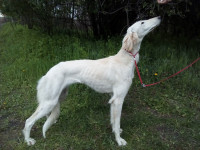 Persky chrt, saluki for sale