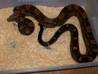 Adult Boa Constrictor