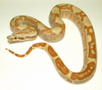 Boa constrictor - Paradise Sunglow Jungle, Motley