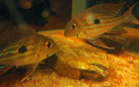 Geophagus winemilleri