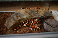 Lampropeltis triangulum Cambelly Apricot