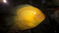 heros red spotted severum