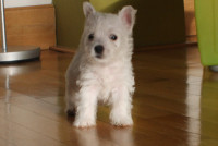 West highland white terrier s PP