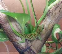 Phelsuma grandis high red