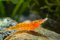 neocaridina orange +neocaridina red cherry