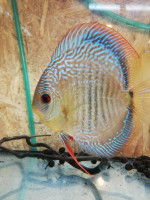 Discus 23 ag odchovy 2019
